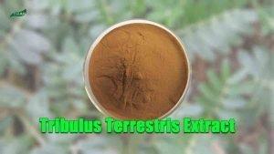 Best Tribulus Terrestris Extract Powder Tribulus Terrestris Saponins Powder