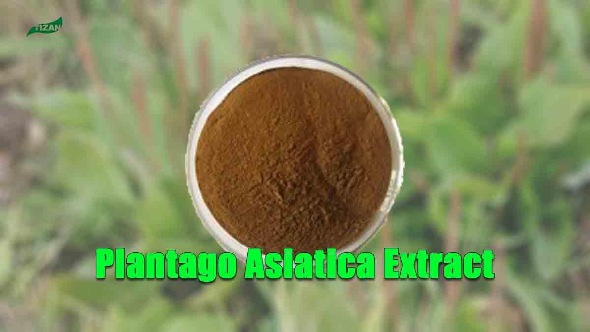 Plantago Asiatica Extract Powder