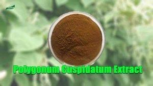 Polygonum Cuspidatum Extract Resveratrol Extract Japanese Knotweed Extract