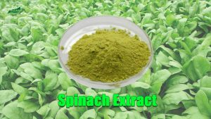 Spinach Extract Powder