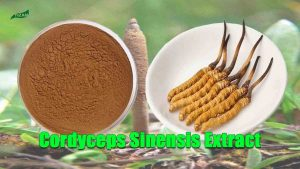 Cordyceps Sinensis Extract Powder